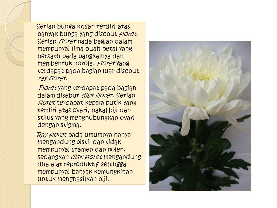 Setiap bunga krisan terdiri atas banyak bunga yang disebut floret