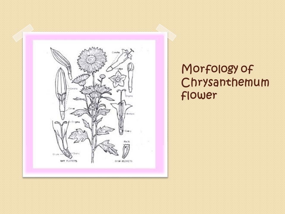 Morfology of Chrysanthemum flower