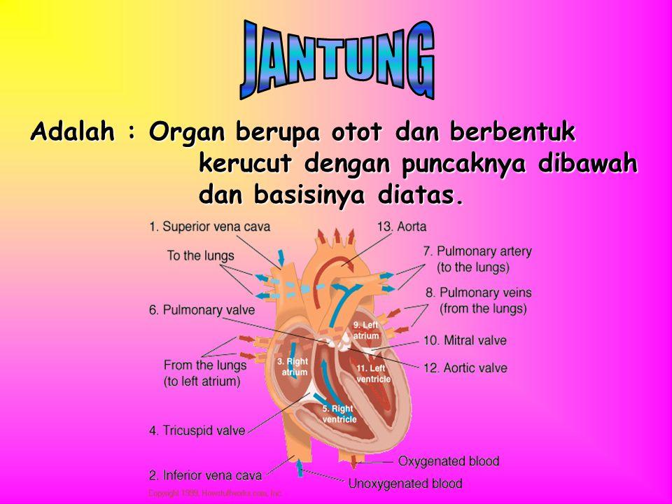 JANTUNG Adalah : Organ berupa otot dan berbentuk