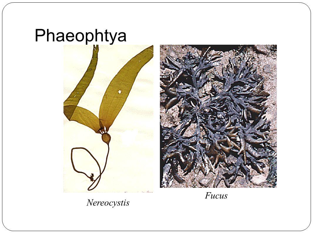 Phaeophtya Fucus Nereocystis