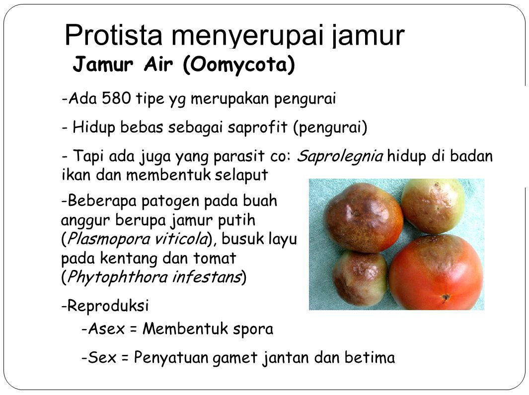 Protista menyerupai jamur