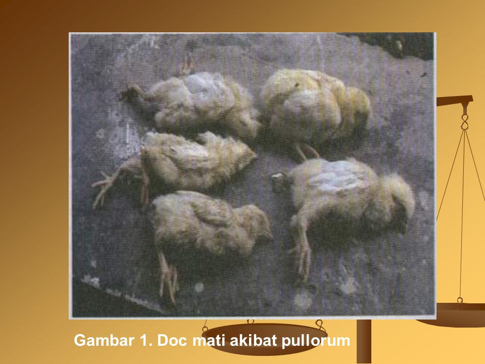 Gambar 1. Doc mati akibat pullorum