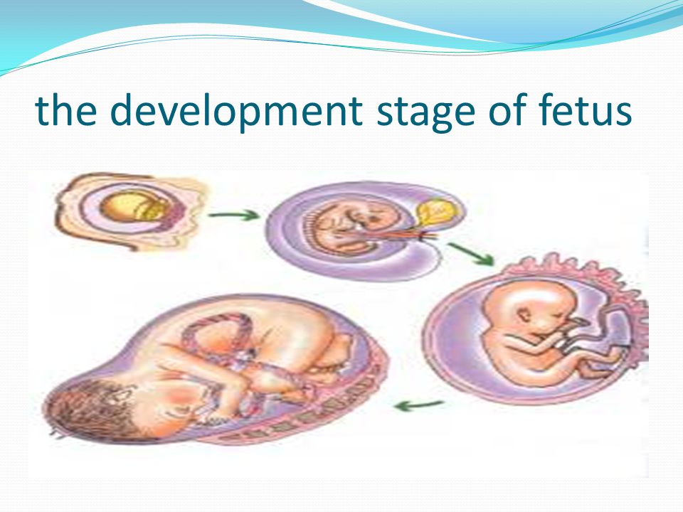 the development stage of fetus