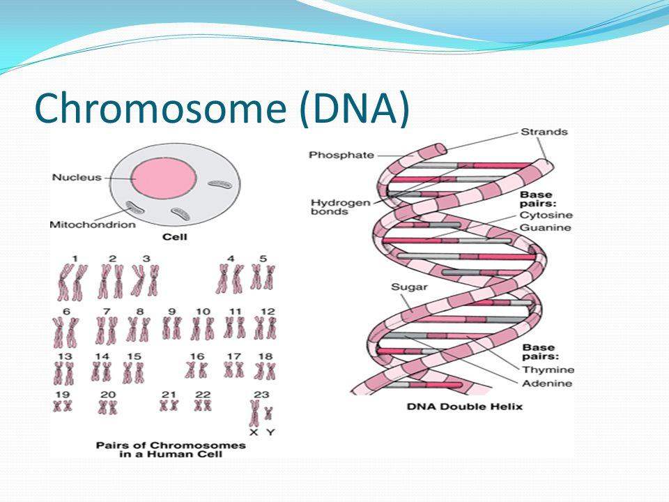 Chromosome (DNA)