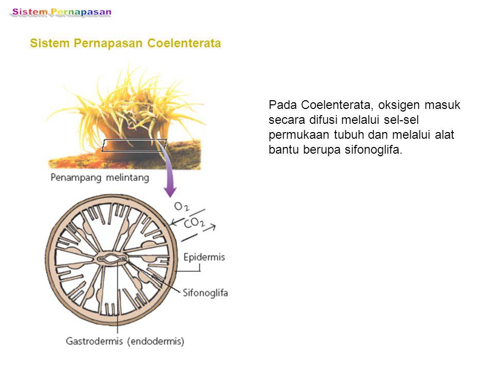 Sistem Pernapasan Sistem Pernapasan Coelenterata