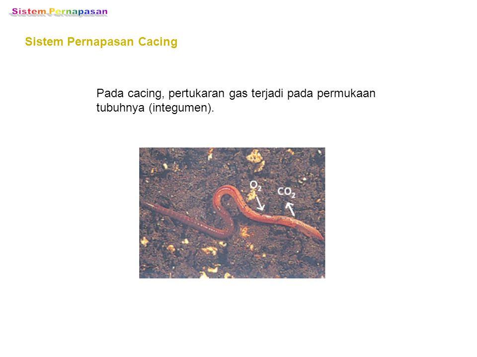 Sistem Pernapasan Sistem Pernapasan Cacing