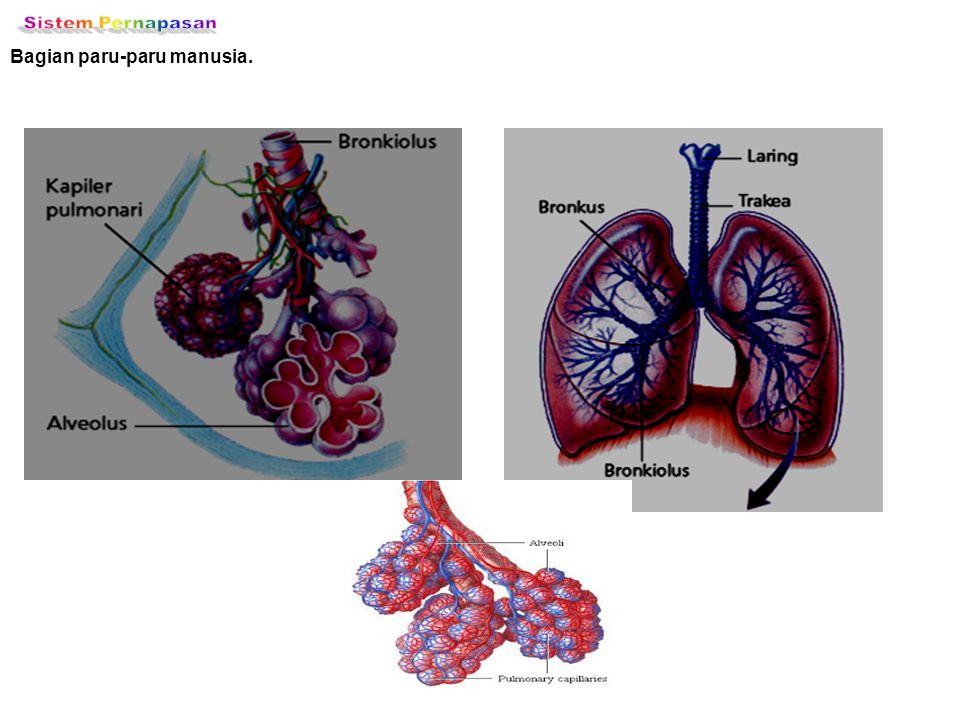 Sistem Pernapasan Bagian paru-paru manusia.