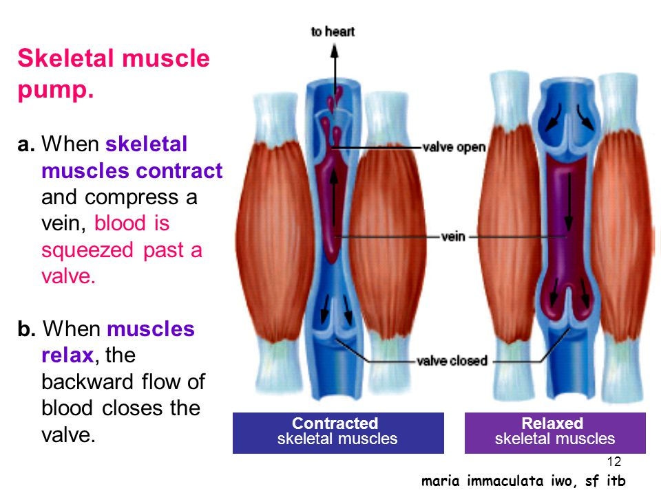 Skeletal muscle pump. a. When skeletal muscles contract and compress a vein, blood is squeezed past a valve. b. When muscles relax, the backward flow of blood closes the valve.