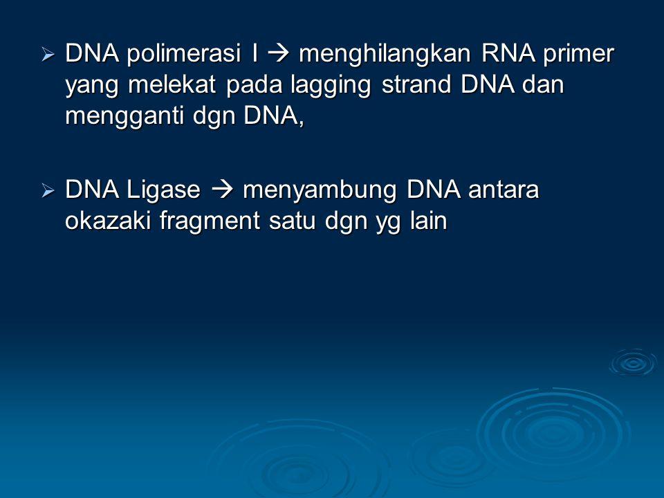 DNA polimerasi I  menghilangkan RNA primer yang melekat pada lagging strand DNA dan mengganti dgn DNA,
