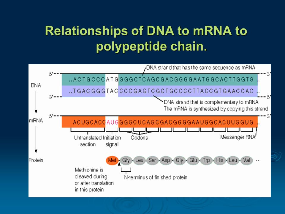 Relationships of DNA to mRNA to polypeptide chain.