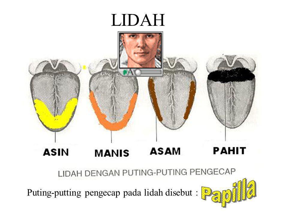 LIDAH Papilla Puting-putting pengecap pada lidah disebut :