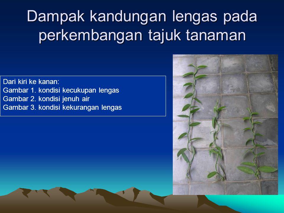 Dampak kandungan lengas pada perkembangan tajuk tanaman
