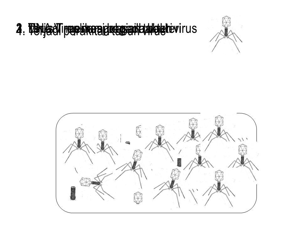 3. Terjadi replikasi bagian tubuh virus