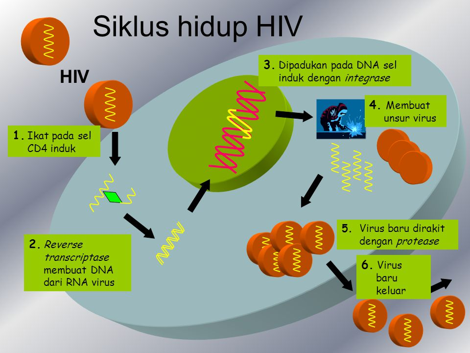 Siklus hidup HIV HIV 3. Dipadukan pada DNA sel induk dengan integrase