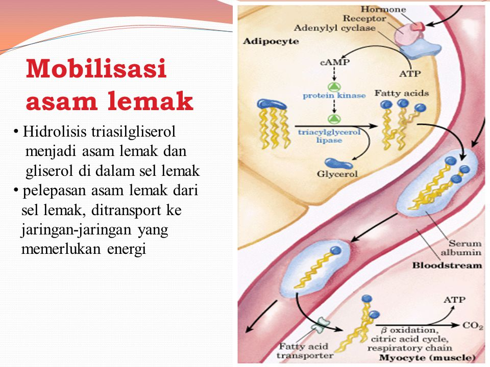Mobilisasi asam lemak Hidrolisis triasilgliserol