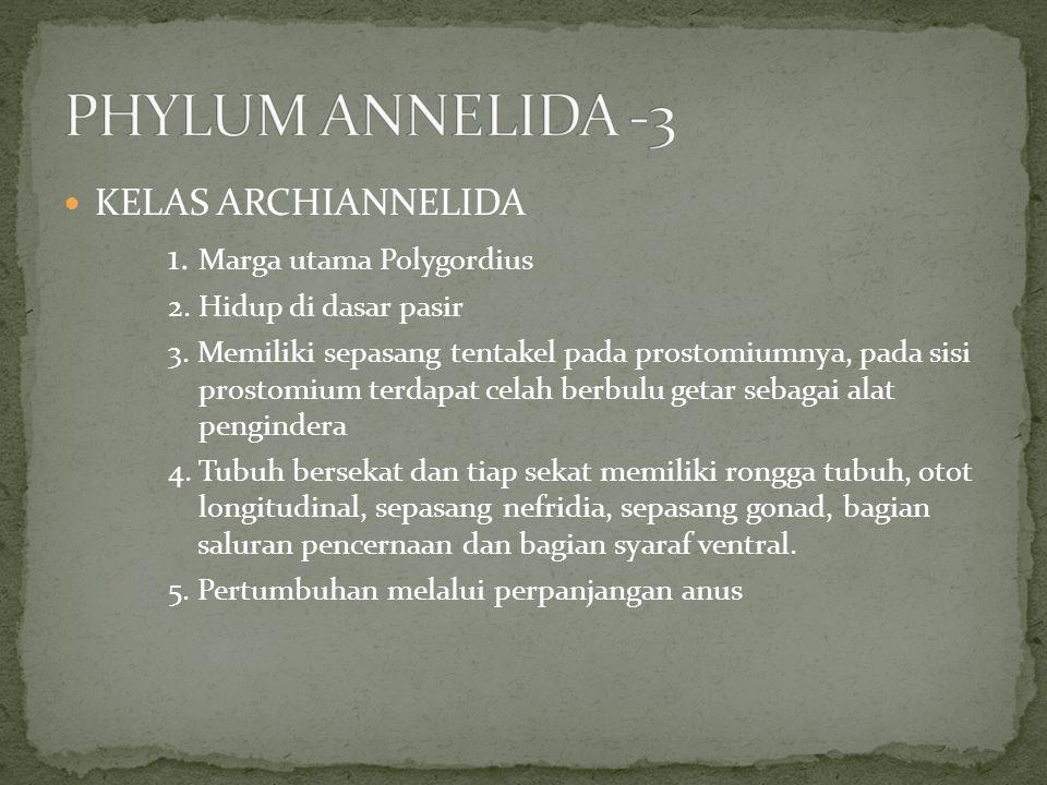 PHYLUM ANNELIDA -3 KELAS ARCHIANNELIDA 1. Marga utama Polygordius