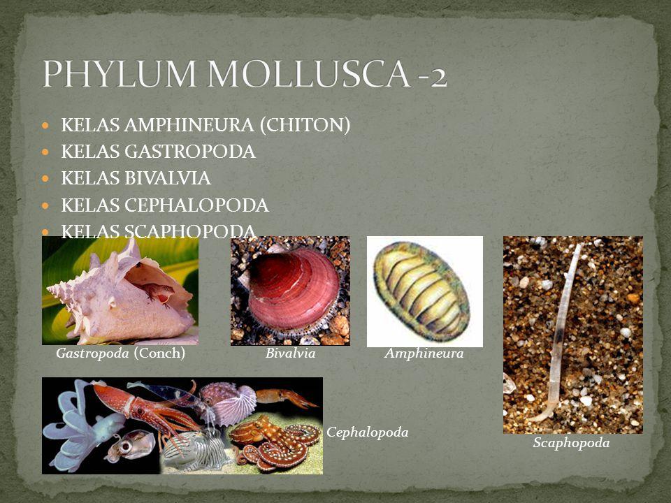 PHYLUM MOLLUSCA -2 KELAS AMPHINEURA (CHITON) KELAS GASTROPODA