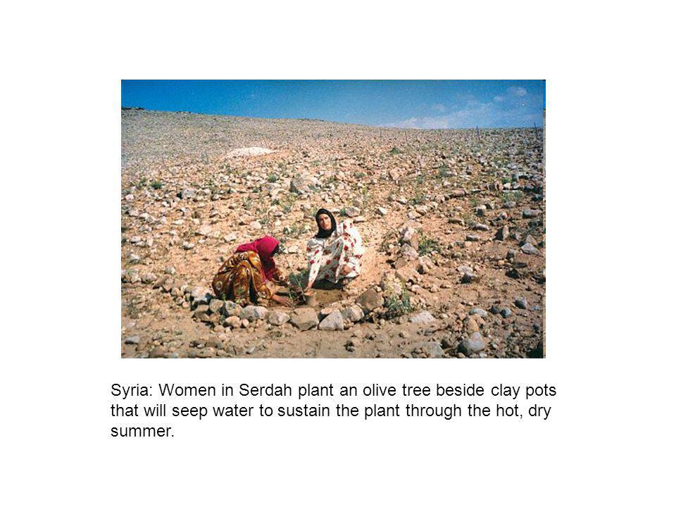 Syria: Women in Serdah plant an olive tree beside clay pots that will seep water to sustain the plant through the hot, dry summer.