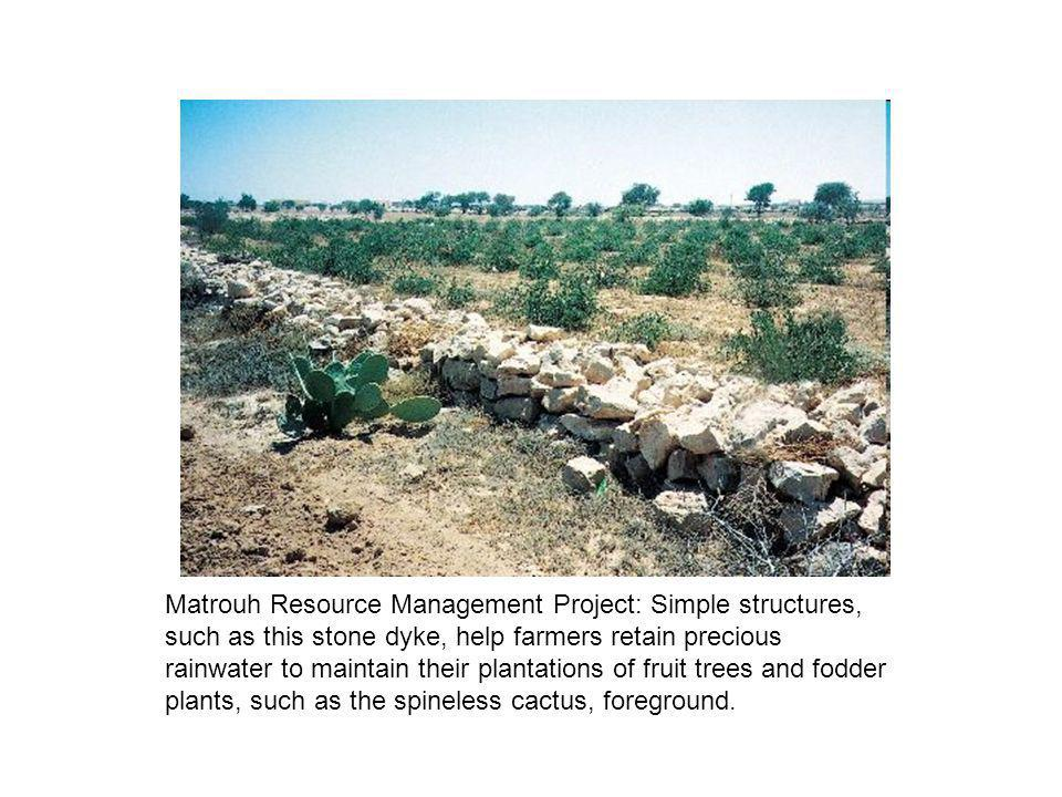 Matrouh Resource Management Project: Simple structures, such as this stone dyke, help farmers retain precious rainwater to maintain their plantations of fruit trees and fodder plants, such as the spineless cactus, foreground.