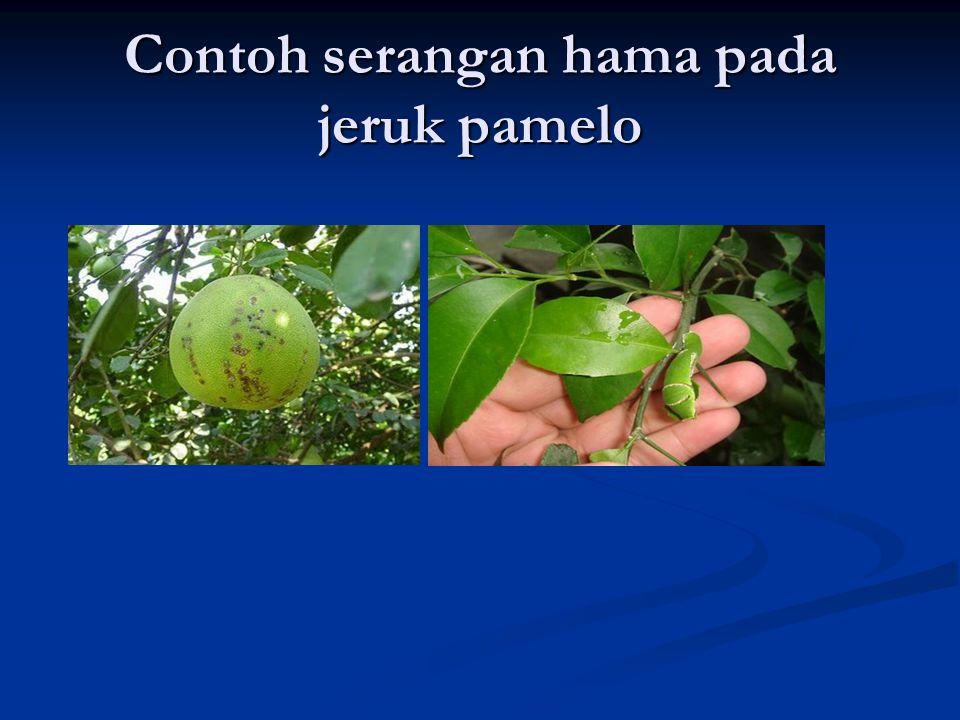 Contoh serangan hama pada jeruk pamelo