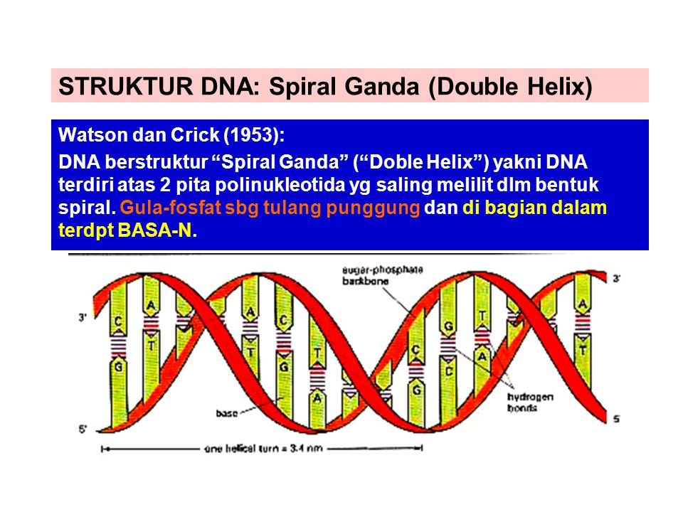 STRUKTUR DNA: Spiral Ganda (Double Helix)