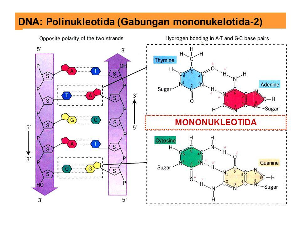 DNA: Polinukleotida (Gabungan mononukelotida-2)