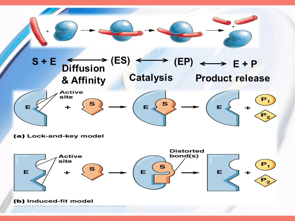 S + E (ES) (EP) E + P Diffusion & Affinity Catalysis Product release