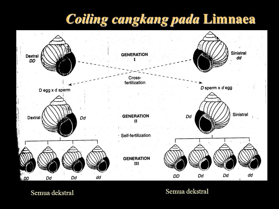 Coiling cangkang pada Limnaea