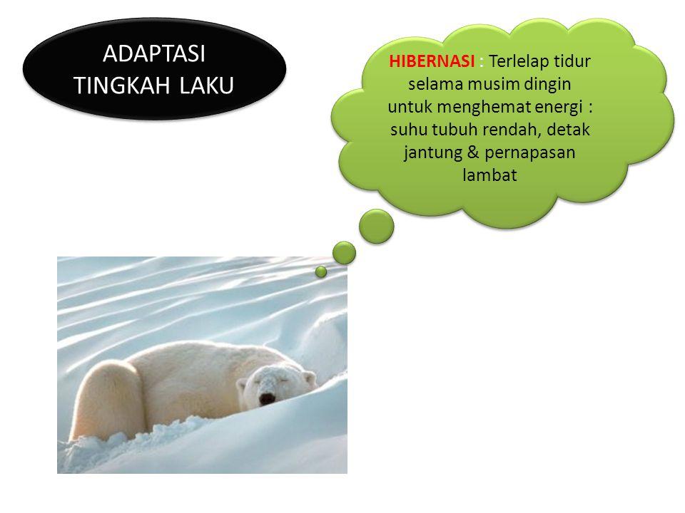 ADAPTASI TINGKAH LAKU HIBERNASI : Terlelap tidur selama musim dingin untuk menghemat energi : suhu tubuh rendah, detak jantung & pernapasan lambat.