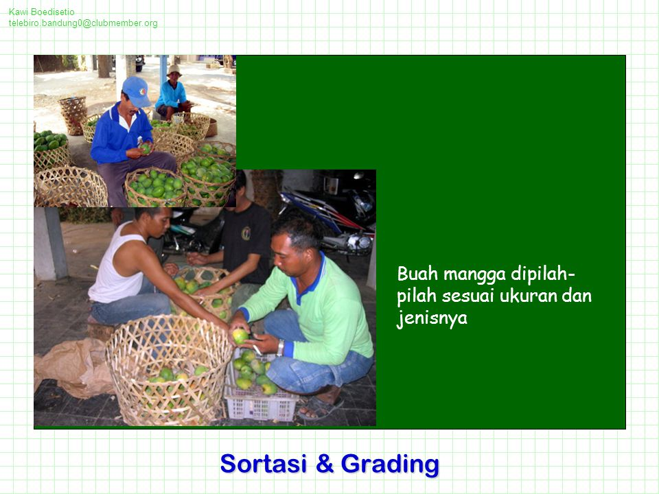 Sortasi & Grading Buah mangga dipilah-pilah sesuai ukuran dan jenisnya