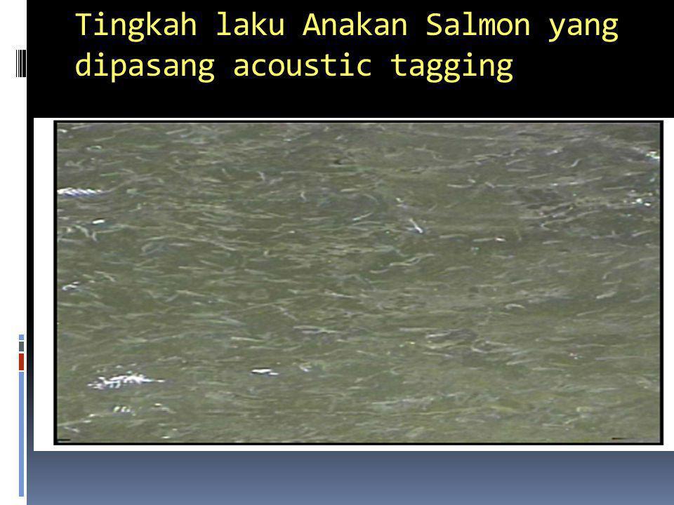 Tingkah laku Anakan Salmon yang dipasang acoustic tagging