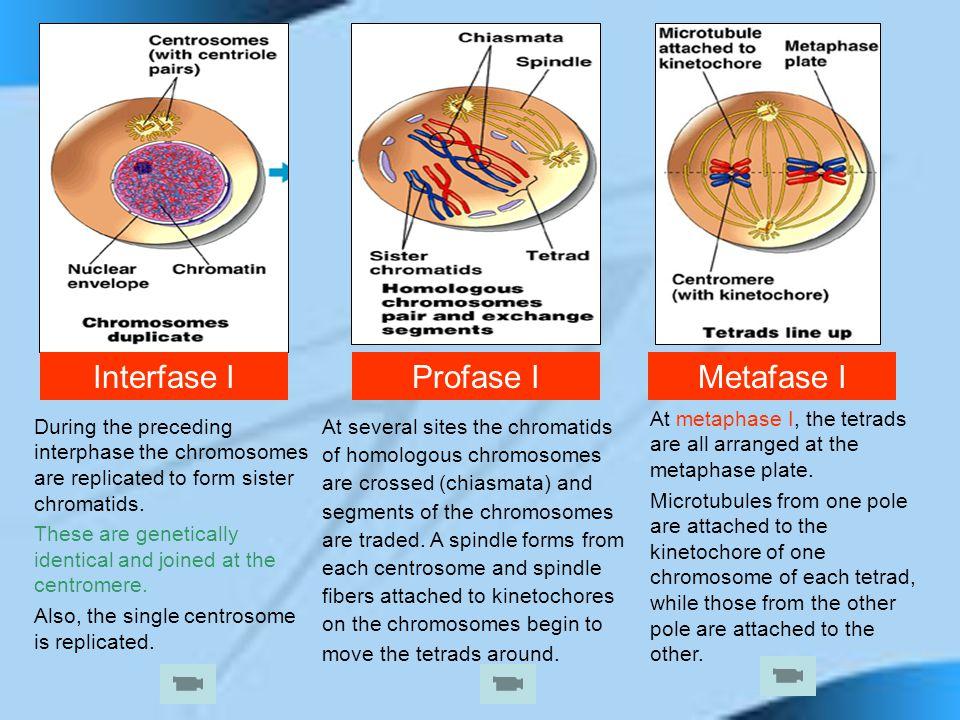 Interfase I Profase I Metafase I