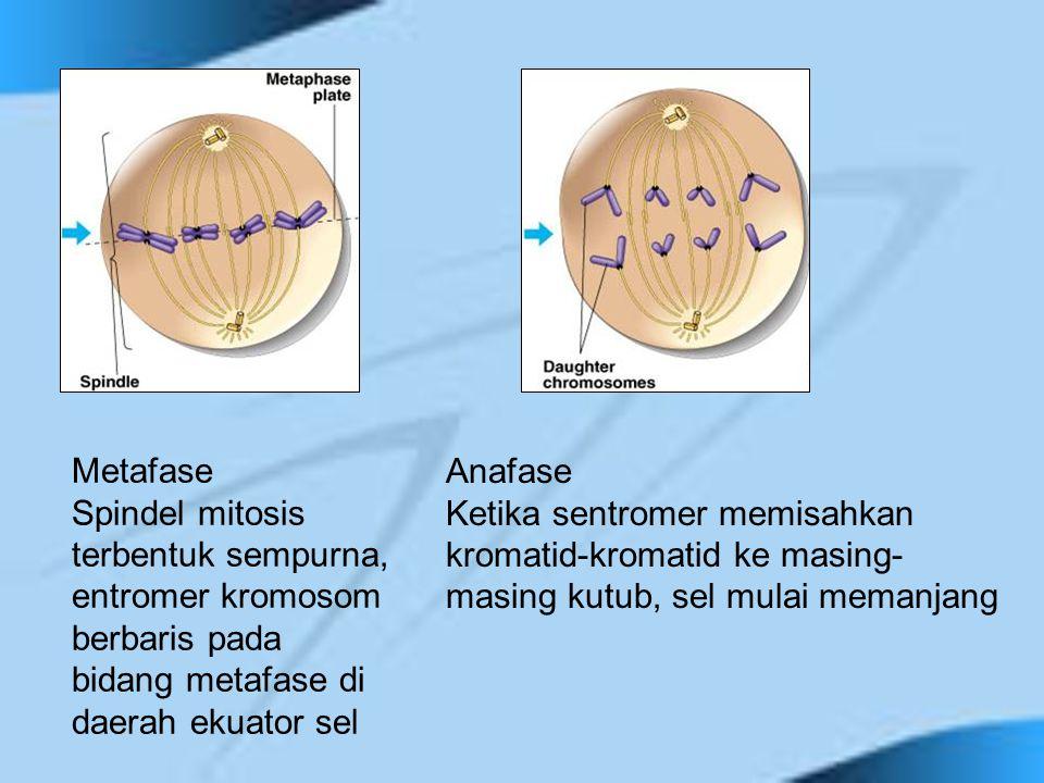 Metafase Spindel mitosis terbentuk sempurna, entromer kromosom berbaris pada bidang metafase di daerah ekuator sel.