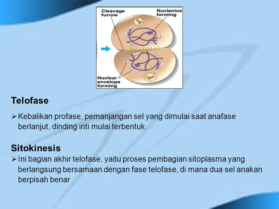 Telofase Kebalikan profase, pemanjangan sel yang dimulai saat anafase berlanjut, dinding inti mulai terbentuk.