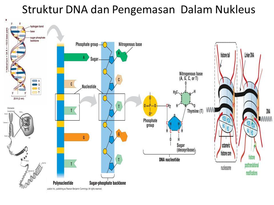 Struktur DNA dan Pengemasan Dalam Nukleus