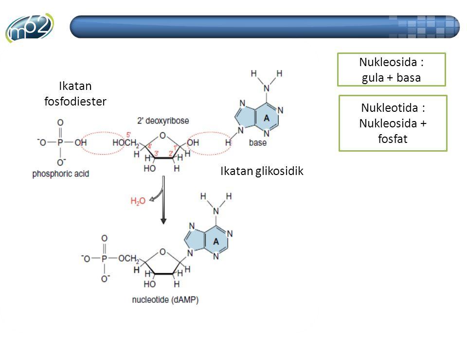 Nukleosida : gula + basa Ikatan fosfodiester Nukleotida : Nukleosida + fosfat Ikatan glikosidik