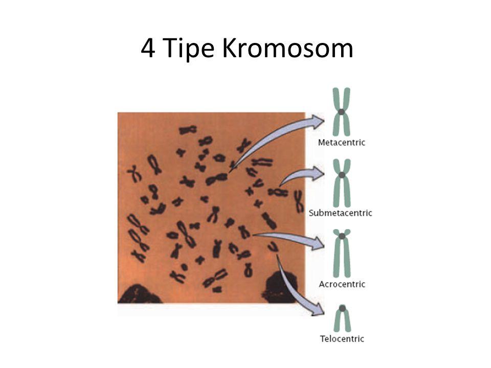 4 Tipe Kromosom
