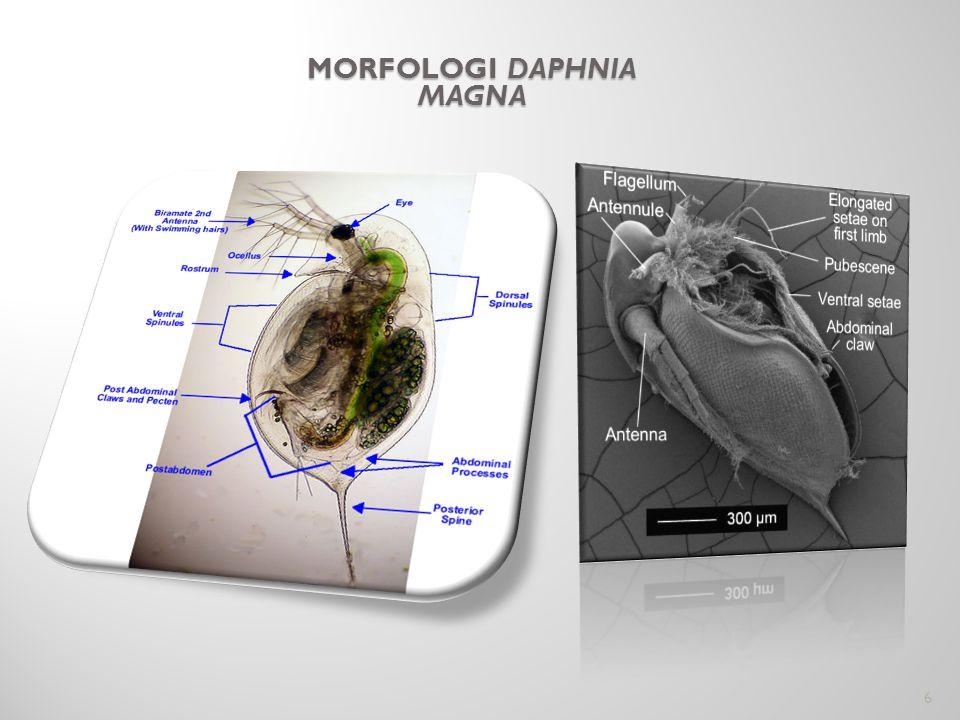 Morfologi Daphnia magna