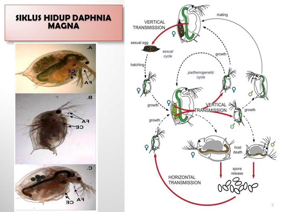 Siklus hidup Daphnia magna