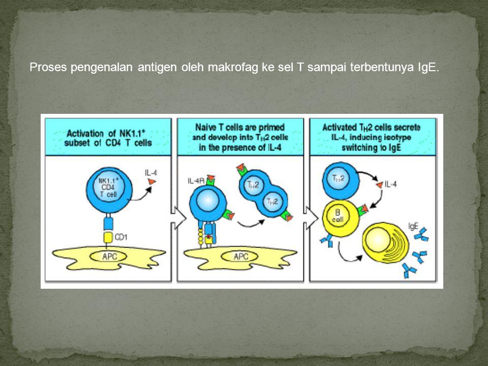 Proses pengenalan antigen oleh makrofag ke sel T sampai terbentunya IgE.