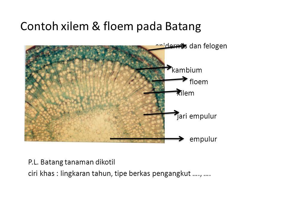 Contoh xilem & floem pada Batang epidermis dan felogen