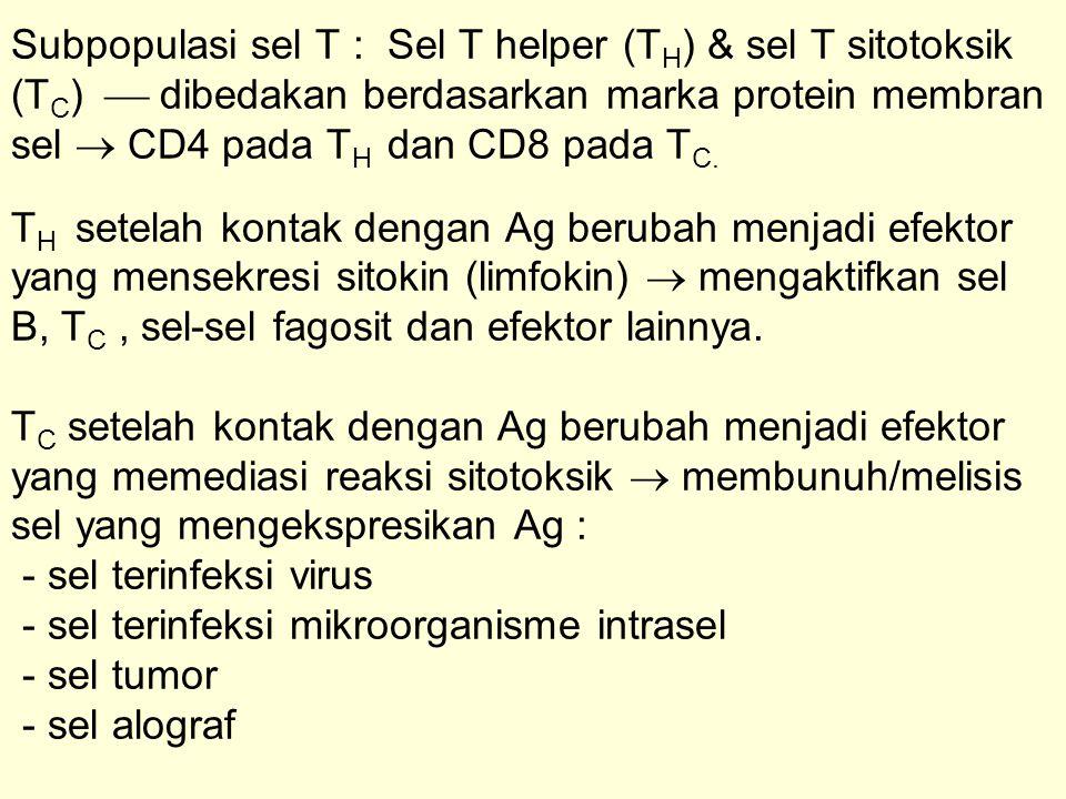 Subpopulasi sel T : Sel T helper (TH) & sel T sitotoksik (TC)  dibedakan berdasarkan marka protein membran sel  CD4 pada TH dan CD8 pada TC.
