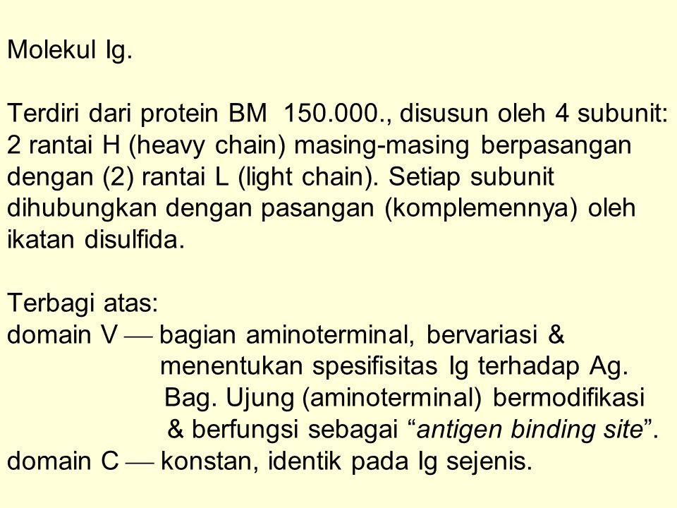 Molekul Ig. Terdiri dari protein BM 150. 000