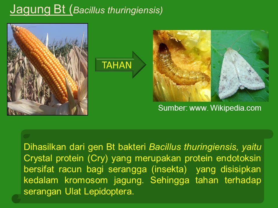 Jagung Bt (Bacillus thuringiensis)