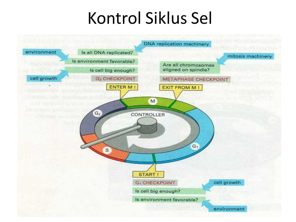 Kontrol Siklus Sel
