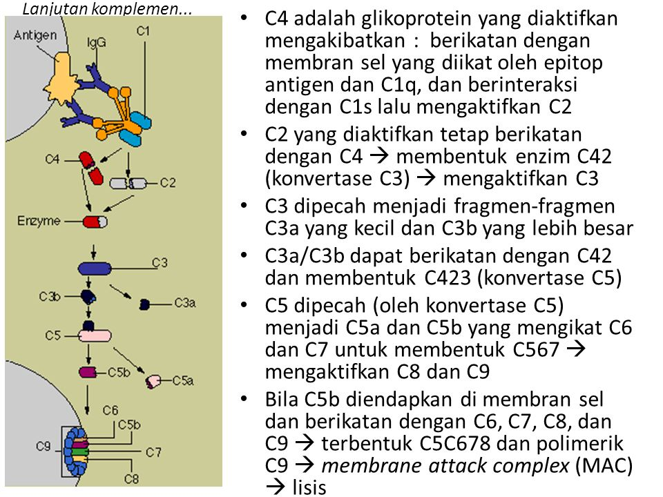 C3a/C3b dapat berikatan dengan C42 dan membentuk C423 (konvertase C5)