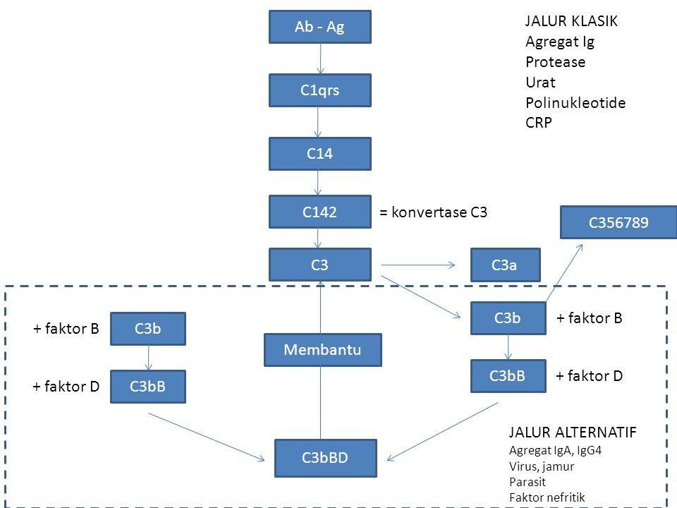 Ab - Ag JALUR KLASIK Agregat Ig Protease Urat Polinukleotide CRP C1qrs