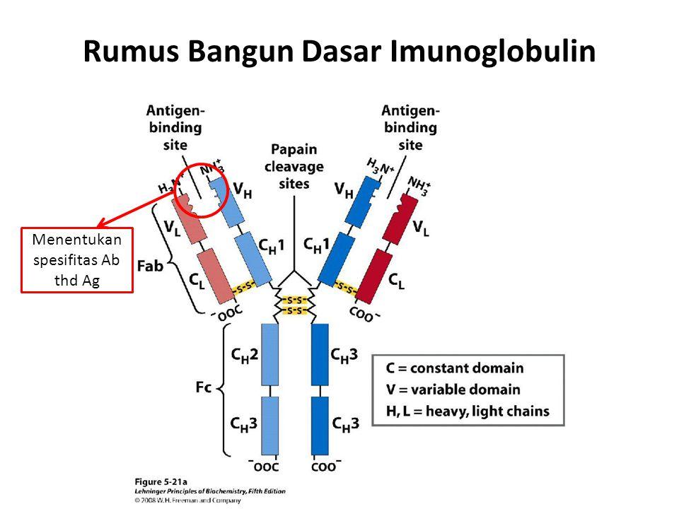 Rumus Bangun Dasar Imunoglobulin
