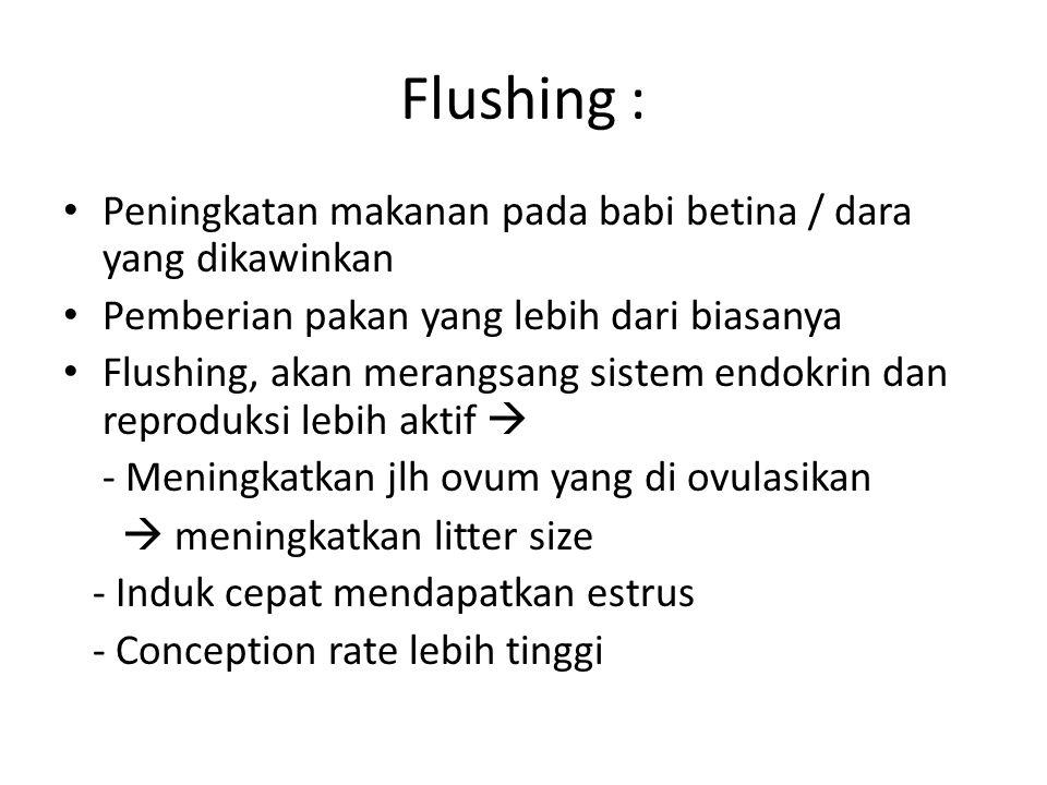 Flushing : Peningkatan makanan pada babi betina / dara yang dikawinkan