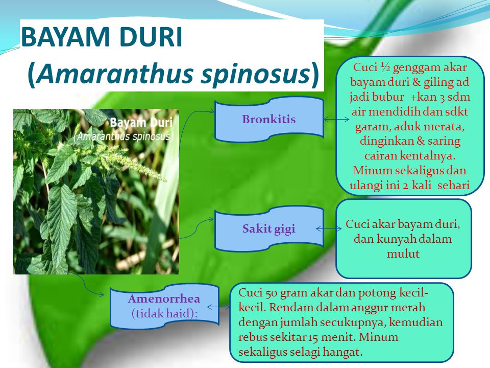 BAYAM DURI (Amaranthus spinosus)